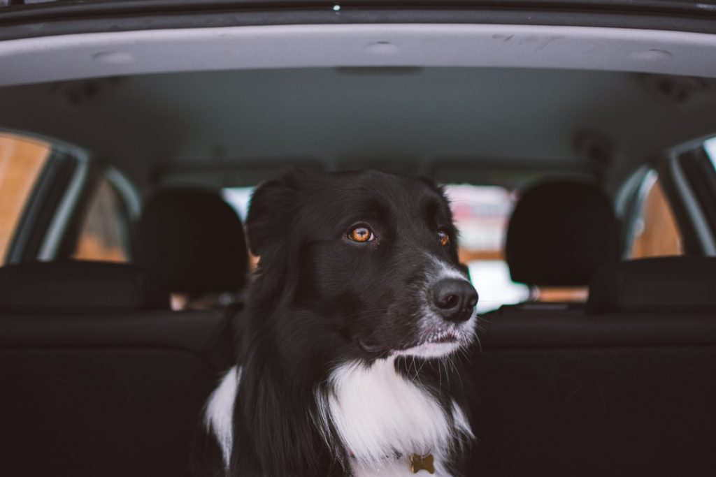 Traveling in the Car with Your Dog