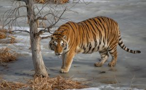 Trailing the Tiger