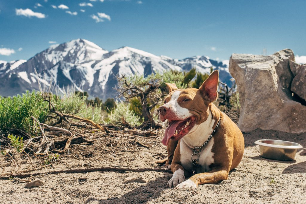 Air Travel With Your Pit Bull Terrier Dog