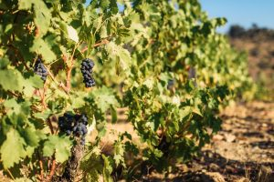 Seattle Vineyards